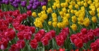 Keukenhof Bulbflower Garden : le plus grand jardin de tulipes